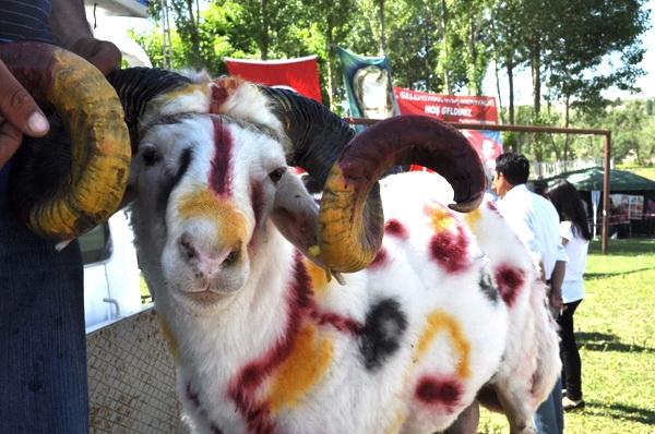 Arpaçay'da Koç ve Kültür Festivali 16