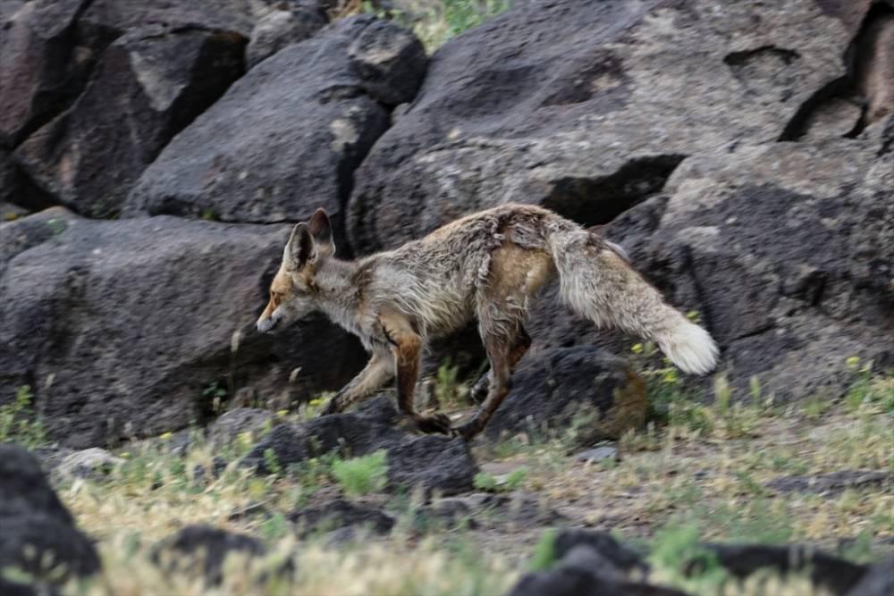 Ağrı Dağı Milli Parkı ve Yaban Hayatı 15