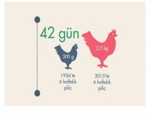 Güneş Görmeyen Tavuklar Nasıl 2,5 Kilo Oldu?