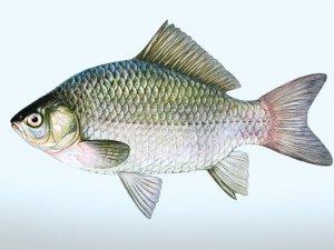 Kars'ta Göllere Yavru Sazan Balığı Bırakıldı