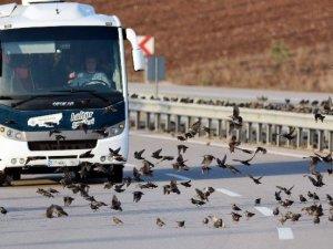 Binlerce Kuş Karayolunu Kapattı