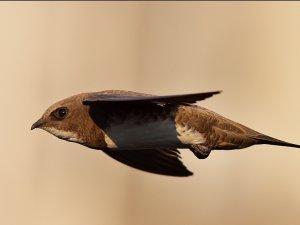 'Elektrik Direği'nde Sıkışan Ebabil Kuşu Kurtarıldı