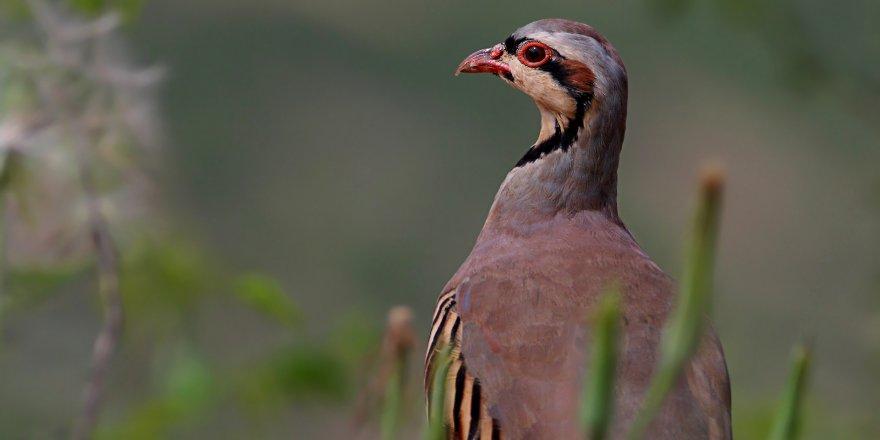 Tedavi Edilen 'Keklik'ler Doğaya Bırakılacak