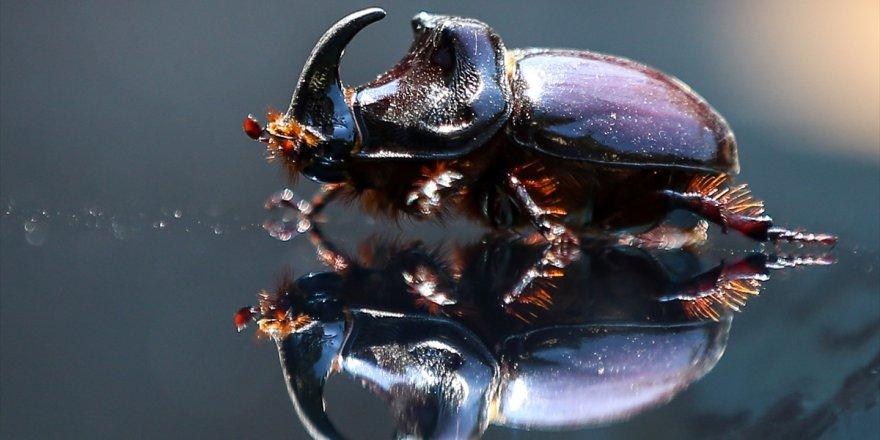 Ağrı'da 'Gergedan Böceği' Bulundu
