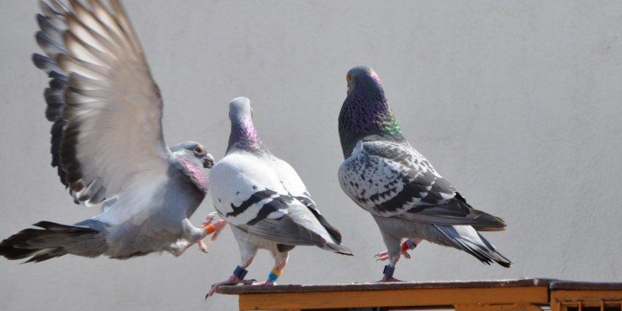 Mesafe Tanımayan 'Posta Güvercini'