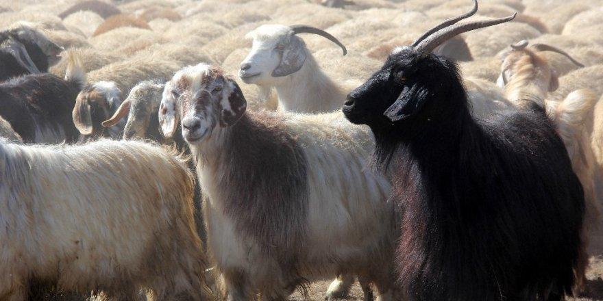 Iğdır'dan Gelen Koyunlar Kriz Yarattı