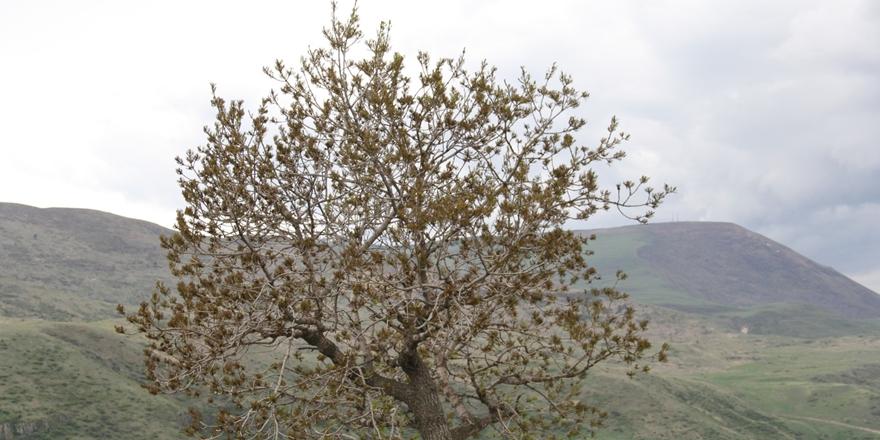 Çıldır'ın 'Anıt' Ağaçları ve Bahçeleri