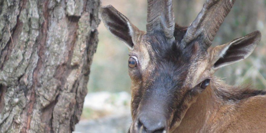 Tunceli | Dağ Keçisi Avlanma İhalesi İptal Edildi