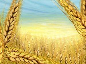 Çiftçilerin Hasat Mesaisi Başladı