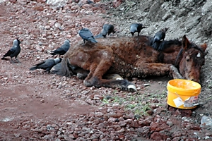 Yavru Atın Kargalara Karşı Mücadelesi