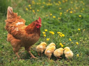 Tavuk Tüyünden Petrol Temizleme Aracı