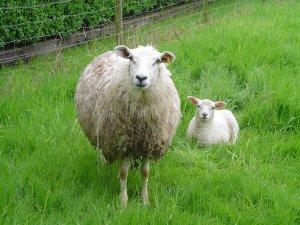 Tosun Gibi Koyunlar Et Krizini Çözecek
