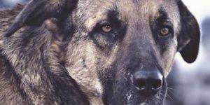 Digor'da 'Köpek Dövüştürme' Kavgası