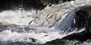 'İnci Kefali' Balığının Göç Serüveni