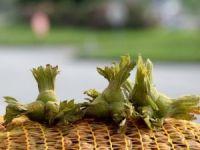 Fındık Tozları Astım Atağına Yol Açıyor