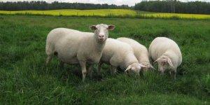 Kars'ta 'İle de France' Koyunları