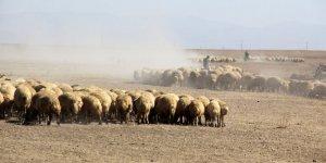 Kakaç Köyü'nde 'Koyun' Krizi