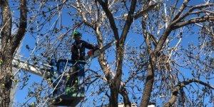 Kars'ta Ağaç Budama Devam Ediyor