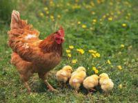 Tavuk Eti Kanatlandı...