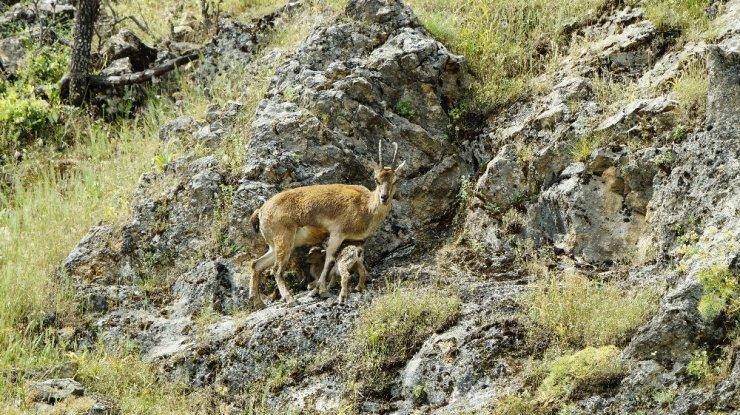 Tunceli'de Yeni Doğmuş Dağ Keçileri