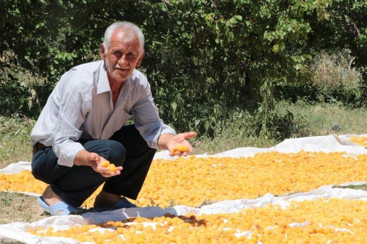 Malatya'nın 'Sarı Altın' Hasadı Devam Ediyor
