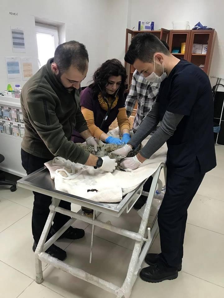 Yaralı Vaşak Kars'ta Tedavi Altına Alındı