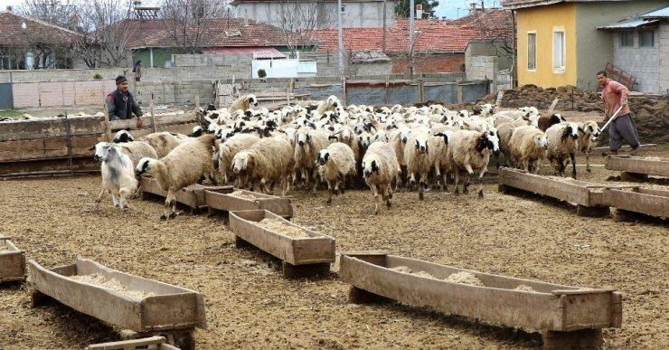 Koyun ve Kuzuların Buluşması Görüntülendi