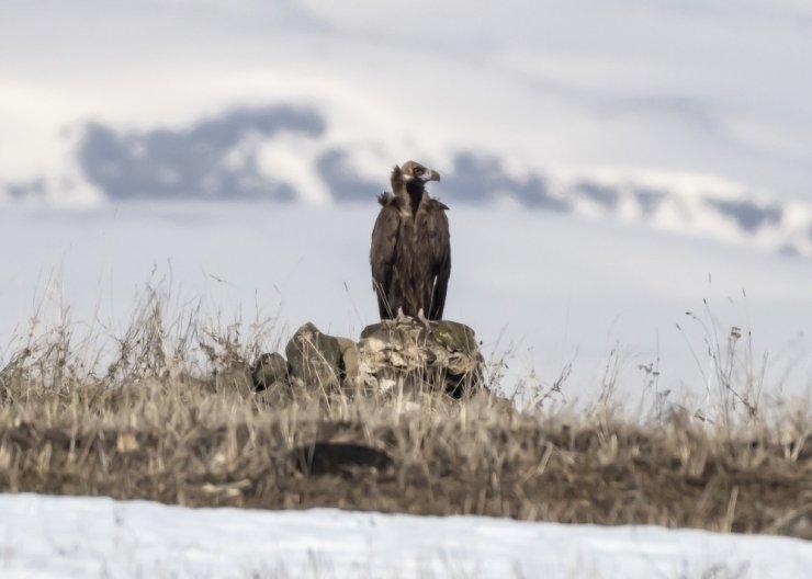 'Kızıl Akbabalar' Kars'ta Görüntülendi