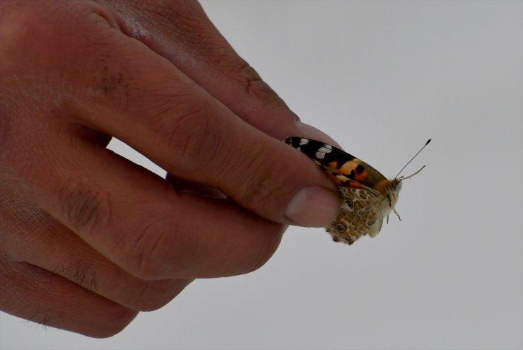 Kar Üzerinde Görülen Kelebekler Şaşkınlık Yarattı