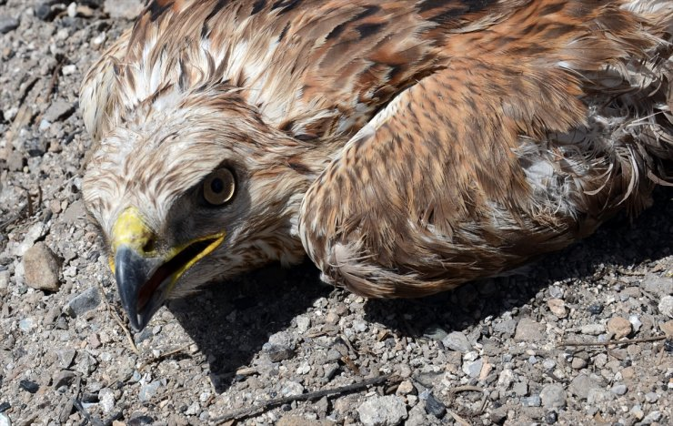 Uçamayan 'Kızıl Şahin' Korumaya Alındı