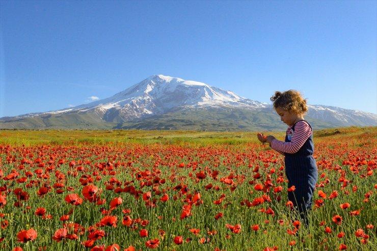Ağrı Dağı ve Gelincik Çiçekleri