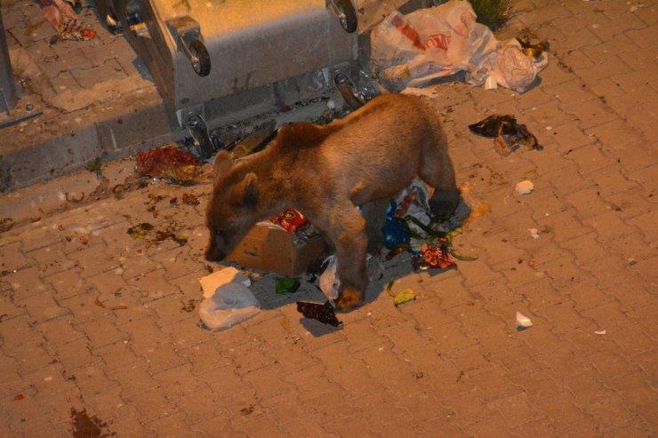 Boz Ayı Yavrusu Çöpte Yiyecek Aradı