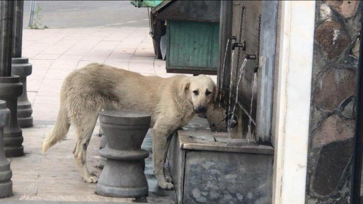 Musluktan Su İçen Köpek İlgi Odağı Oldu