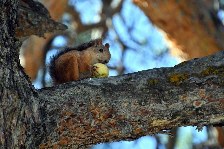 Sarıkamış'ta Kayısı Yiyen Sincaplar