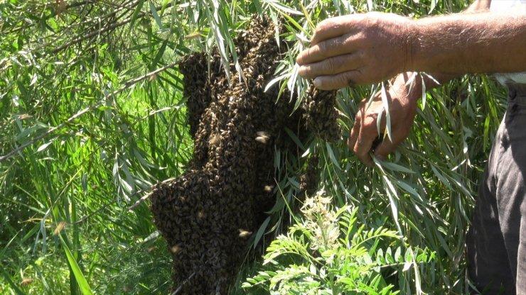 Oğul Veren Arılar Ağaçlara Kümelendi