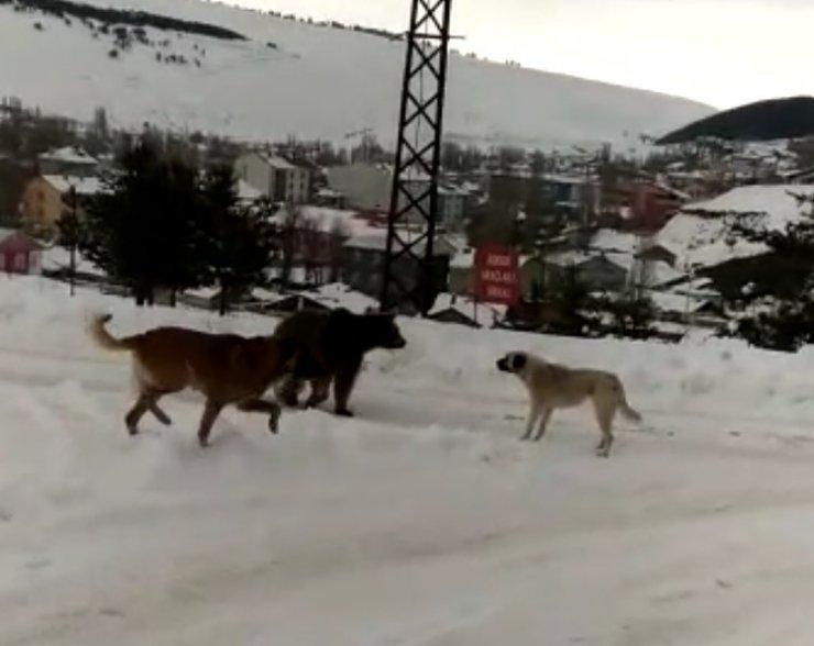 Köpekler 'Boz Ayı'nın Yolunu Kesti