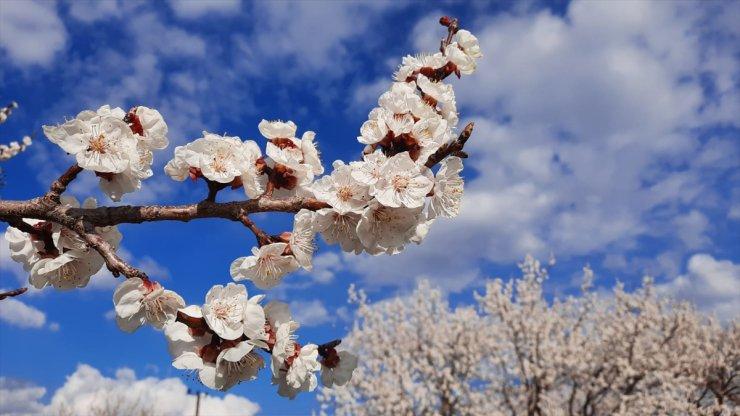Kağızman'da Kayısı Ağaçları Çiçek Açtı
