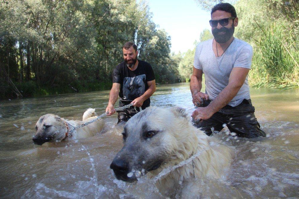 Sivas'ın 'Kangalları' Yüzerek Serinliyor