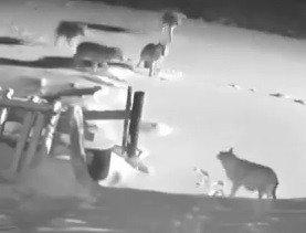Kurtlar 2 Köpeği Parçalayarak Öldürdü