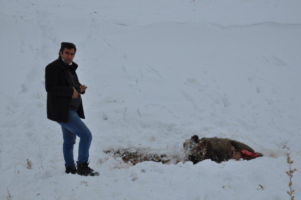 Aç Kalan Kurtlar Domuzlara Saldırdı