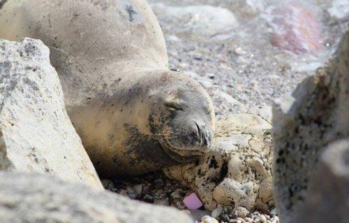 Akdeniz Foklarını Rahatsız Etmek Resmen Yasaklandı