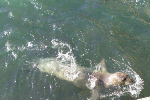 Akdeniz Foku, Yeniden Kuşadası Körfezi'nde