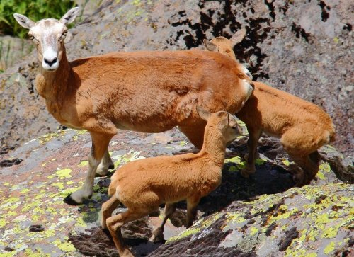 'Anadolu Yaban Koyunu' Koruma Altında