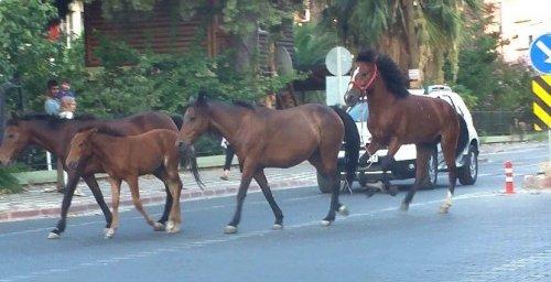 Atlar Trafikte Şahlanarak Gidiyor