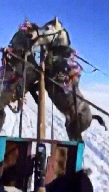 Buz Tutan Çıldır Gölünde Kızağa Takılı Atlar Kavga Etti