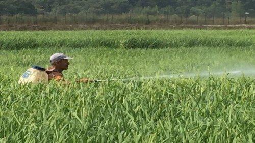Çeltik Üreticisi, Kirpi Darı Otu İle Baş Edemiyor