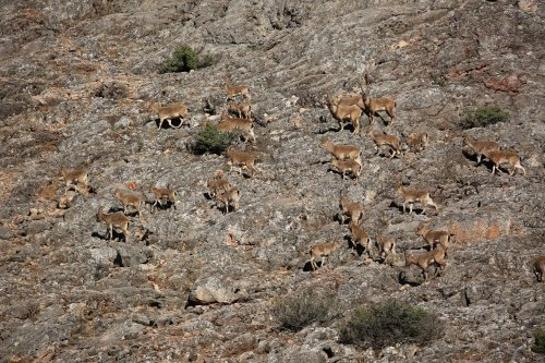 Dağ Keçileri Tarlalara İndi