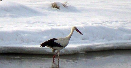 Kars'a Eksi 20 Derece Soğukta Leylek Geldi