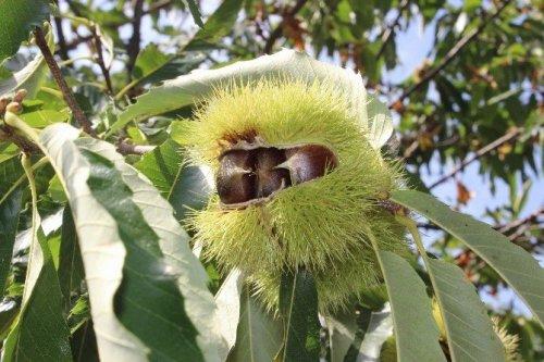 Katil Arılar 20 Bin Ağacı Kuruttu