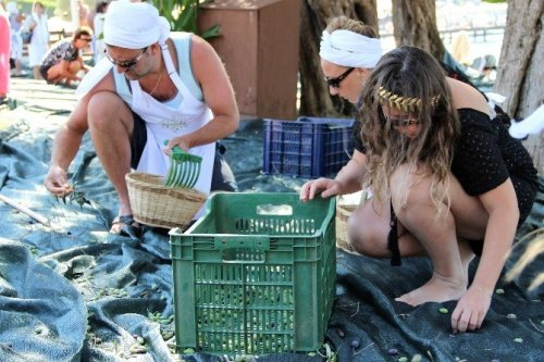Turistler Tatili Bırakıp Zeytin Topladı